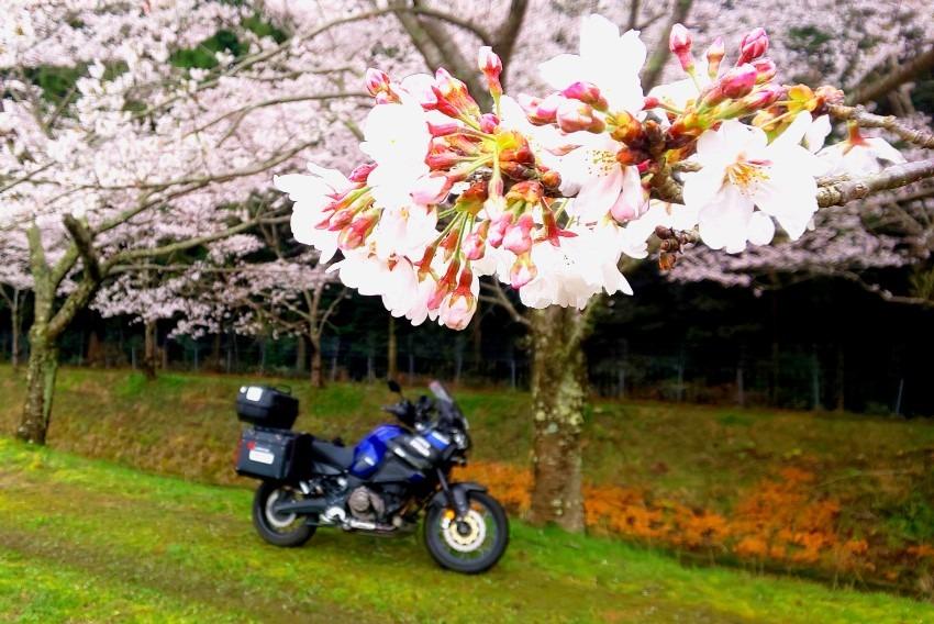 今年も桜を愛でる事が出来ました