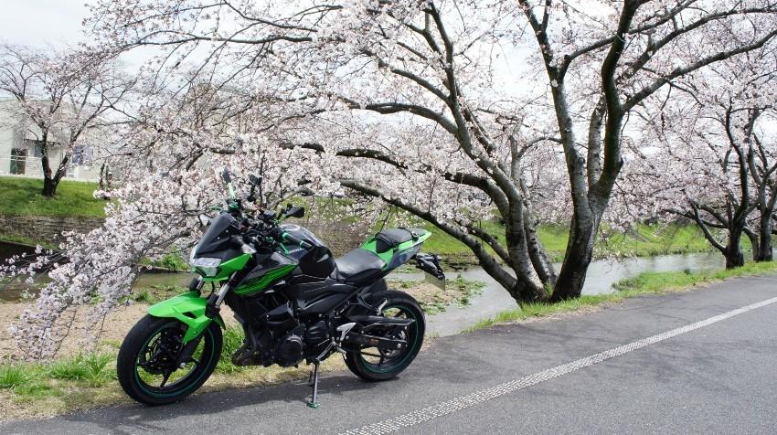 桜を求めて