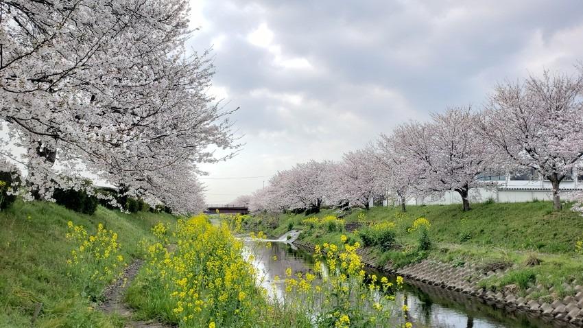 今週も桜を求めて